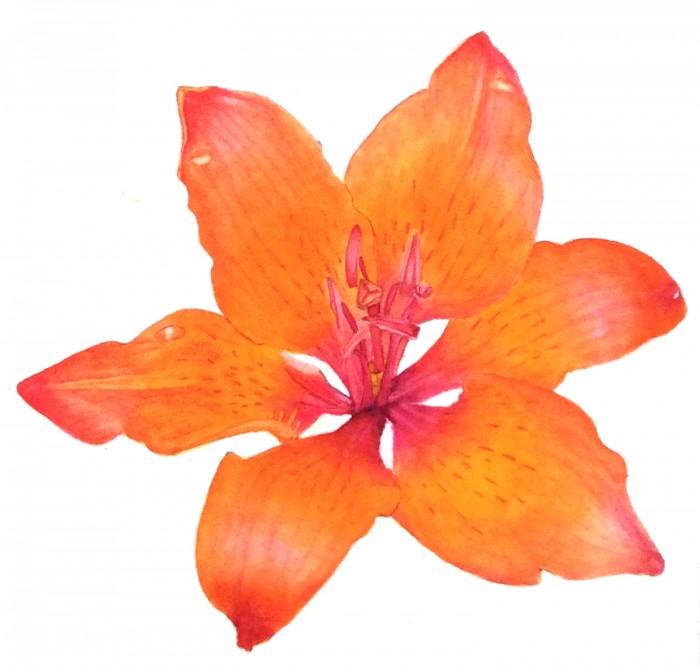 Vikki's orange lily study
