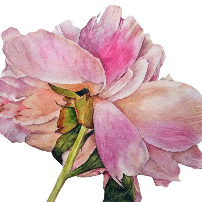 Watercolour painting of Wilted Rose Flower